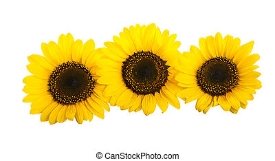 sunflowers - Three sunflowers isolated on white background