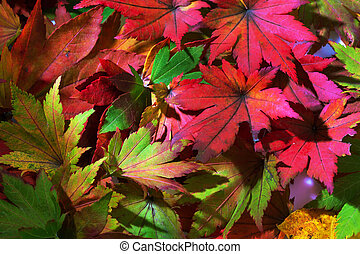 colorful autumn leaves - the colorful messenger of autumn....