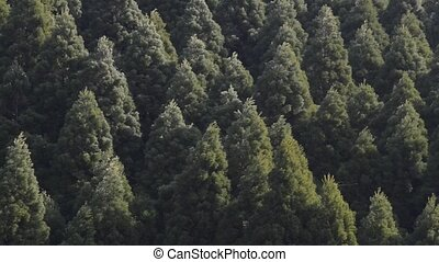 Forest greatly shakes - Japanese cedar forest greatly shakes...