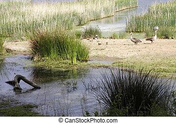 gramíneo, pântanos