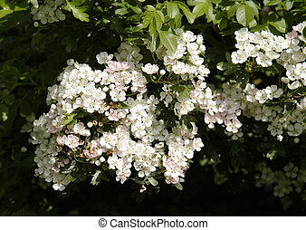 hawthorn flowers on the trees in the springtime