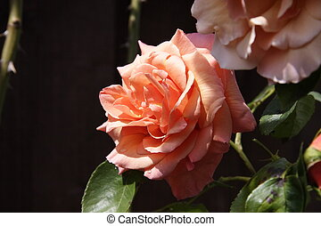 peach rose - peach  coloured rose growing in the sunshine
