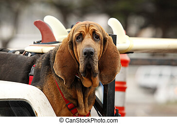red dog in car - Red dog Bloodhound in car