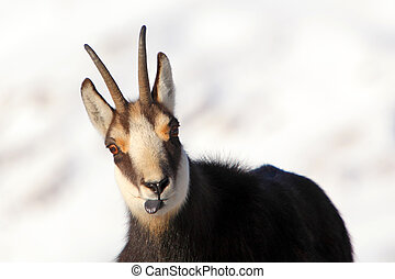 Chamois - rupicapra, detail view - Chamois at winter in...