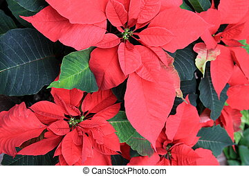Pinkish-red leaves of poinsettia plant welcomes in the...