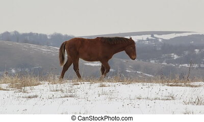 Horses grazing on high mountain pasture - Horse mare and...