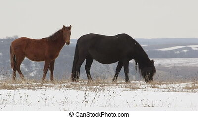 Horses grazing on snowy high mountain pasture