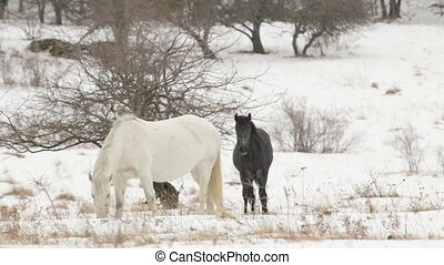 Horses grazing on a snowy winter pasture