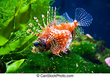Red Lionfish - close-up red lionfish - beautiful coral reef...