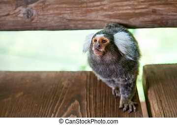 Tufted-ear marmoset - close-up common marmoset at the House...