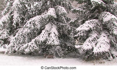 Snow-covered spruce in the park