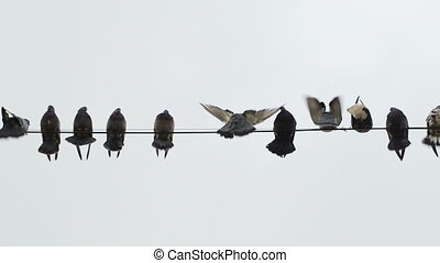 Doves perched on a wire - Dovecote doves perched on a wire
