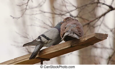 Doves sexual behaviour