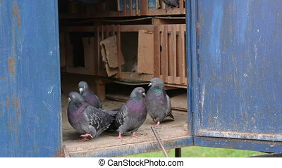 Domestic doves relaxing in the dovecote