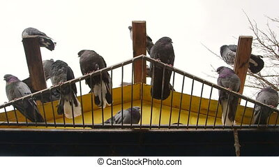 Dovecote doves relaxing - Domestic doves relaxing on a...