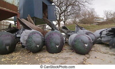 Dovecote doves feeding on the ground, close-up, wide angle