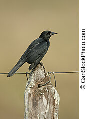 Unicolored blackbird, Agelaius cyanopus, single bird on...