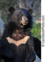 Asiatic black bears are the largest bears in Asia.