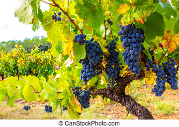 Grape Vine in a vineyard
