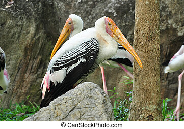 Painted Storks feed in groups in shallow wetlands