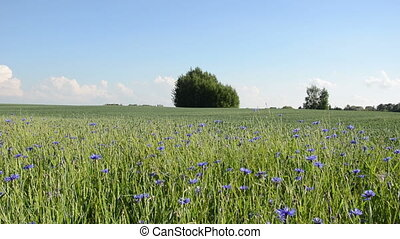 cornflower field summer