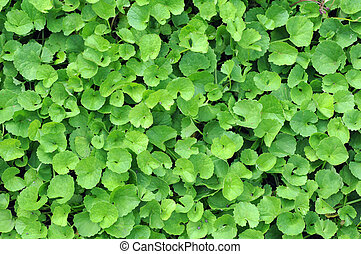centella trees  - a lot of  centella trees in garden