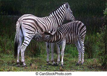 Young zebra suckling from its mother in South Africa
