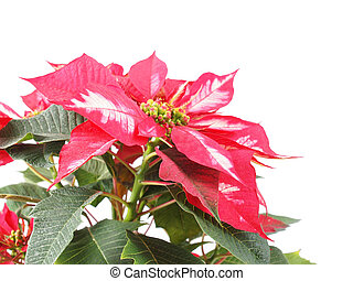 Poinsettia - Red Christmas star Poinsettia Euphorbia...