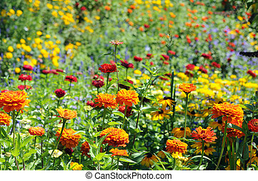 zinnia - garden with full of zinnia (aster family) under...