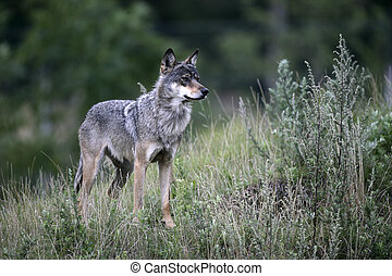 Grey wolf, Canis lupus, single mammal