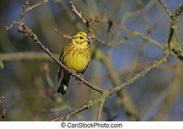Yellowhammer, Emberiza citrinella, single bird on branch,...
