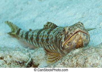 Sand Diver - Bonaire - Sand Diver (Synodus intermedius)...