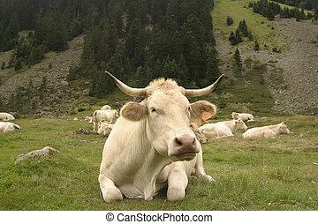 vacas, frente, otro, vaca