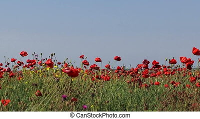 Poppies in the wind - Field of blossoming poppies in the...