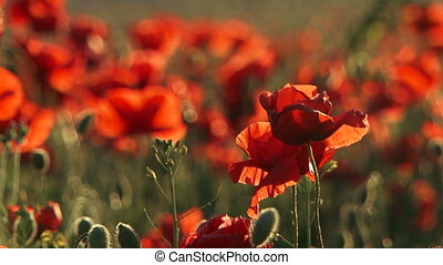 Blossoming poppies