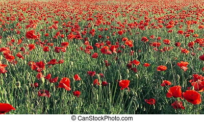 Blooming poppies - Field of blooming poppies