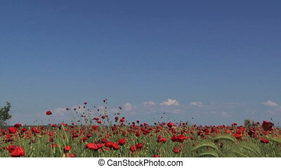 Poppy field in the wind