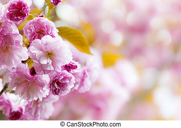 Pink cherry blossoms background - Pink spring background...
