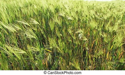 Wheat in the wind