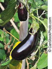 eggplant vegetable - beautiful aubergine up in a garden