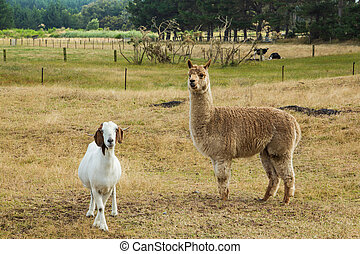 Alpaca & Goat - Nice alapaca wuth a clean white goat as a...
