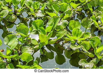 Green water hyacinth in pond