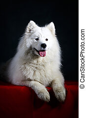 White dog - Samoyed dog