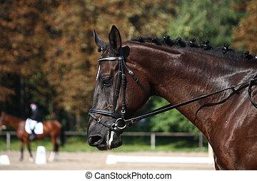 Black horse portrait during dressage competition - Black...