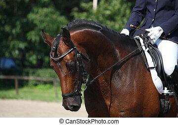 Bay horse portrait during dressage show - Bay horse portrait...
