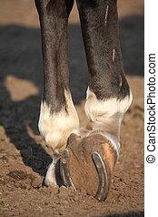 Close up of horse hoof with horseshoe - Close up of horse...
