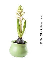 Pink hyacinth growth - Pink hyacinth isolated on white...