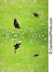 Starling - starling on a green meadow