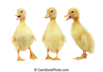 ducks on a white background