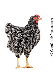 grey hen isolated on white, studio shot